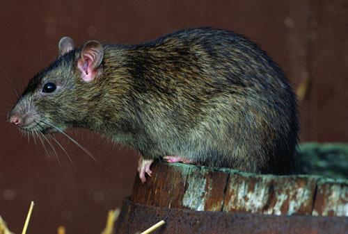 Pensacola Rodent Pest Control