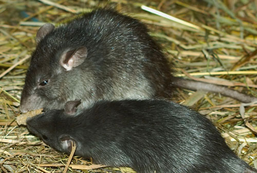 Baldwin County Rodent Pest Control