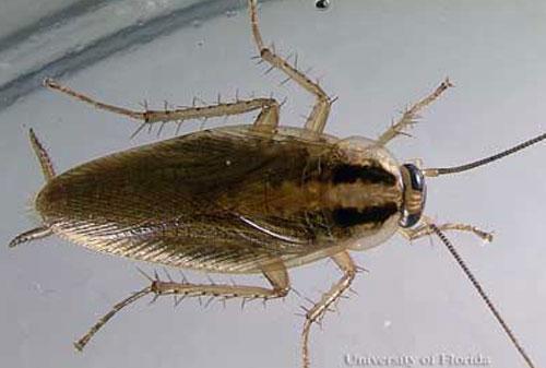 Pensacola Cockroach Exterminator