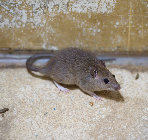 Pensacola Rodent Infestation Rodent Control Professionals